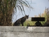 bobcat-on-lake-okeechobee-2011